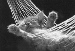hammock kitten